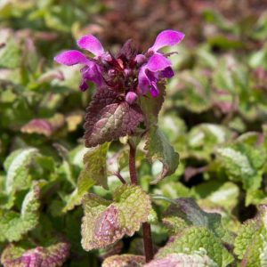 Lamium maculatum 'Roseum' Gevlekte dovennetel Roze bloeiende vasteplant Voorjaarsbloeier, Bodembedekker, Schaduw