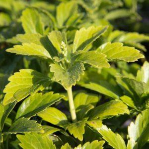 Pachysandra terminalis 'Green Carpet' Dikkemanskruid, Schaduwkruid Voorjaarsbloeier, Bodembedekker, Schaduw, Insectenplant