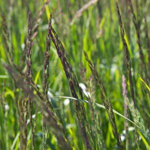 Calamagrostis acutiflora 'Karl Foerster' Struisriet Siergras