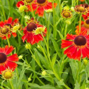 Helenium hybride 'Moerheim Beauty'Bruin oranje Zonnekruid Zomerbloeier, Insectenplant Vasteplant