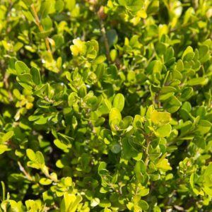 Buxus microphylla 'Faulkner' Bladhoudend Palmboompje