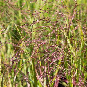 Panicum virgatum 'Squaw' Vingergras Siergras Rood Paarse aren