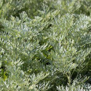 Artemisia arborescens 'Powis Castle' Geelgroen bloeiende Bijvoet Zomerbloeier Vasteplant