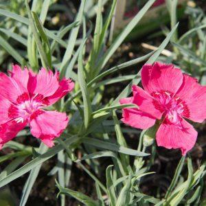Dianthus gratianopolitanus 'Rotkäppchen' Rood Roze bloeiende Anjer Voorjaarsbloeier, Zomerbloeier Vaste plant