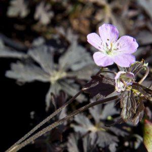Geranium maculatum 'Espresso' Bruinbladige Ooievaarsbek Lila bloemen Voorjaarsbloeier Vasteplant