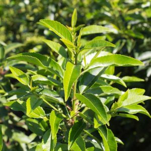 Prunus lusitanica 'Angustifolia' Bladhoudende Portugese laurier Haagplant