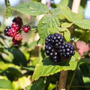 Rubus fruticosus 'Thornfree' Doornloze Eetbaar, Braam, Insectenplant Kleinfruit