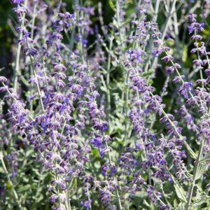 Perovskia atriplicifolia 'Little Spire' Blauw Paars bloeiende Reuzenlavendel, Russische salie Insectenplant