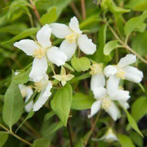 Philadelphus 'Lemoinei' Witbloeiende Boerenjasmijn Zomerbloeier Insectenplant