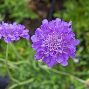 Scabiosa columbaria 'Butterfly Blue' Duifkruid Zomerbloeier, Insectenplant