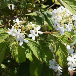Viburnum plicatum 'Watanabe' Witte schermachtige bloemen Japanse sneeuwbal Heester