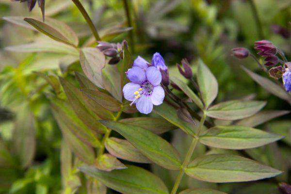 Polemonium 'Heaven Scent' Lila Jacobsladder Zomerbloeier, Insectenplant Vasteplant