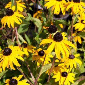 Rudbeckia fulgida 'Goldsturm' Geel met bruinhart Zonnehoed Zomerbloeier, Najaarsbloeier Vasteplant