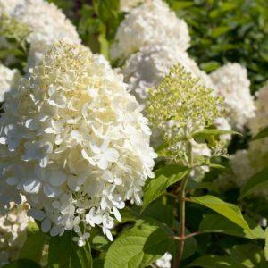 Hydrangea paniculata 'Limelight' Hortensia, Pluimhortensia Zomerbloeier, Najaarsbloeier