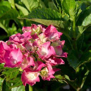 Hydrangea macrophylla 'Sibilla' Roze bloeiende Zomerbloeier, NajaarsbloeierHortensia, Boerenhortensia
