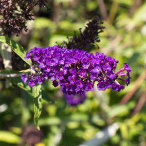 Buddleja davidii 'Black Knight' Donkerpaars bloeiende vlinderstruik Heester