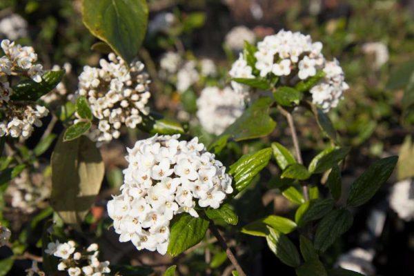 Viburnum burkwoodii Roze wit bloeiende Sneeuwbal Voorjaarsbloeier, Insectenplant Geurende Heester