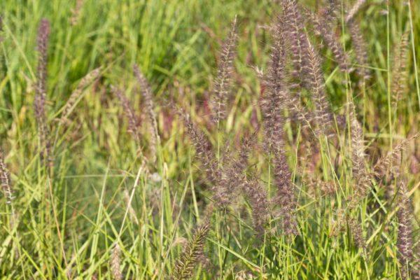 Pennisetum orientale 'Karley Rose' Lampenpoetsergras Siergras