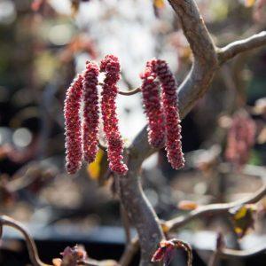 Corylus avellana 'Red Majestic' Roodbladige Kronkelhazelaar Heester