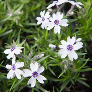 Phlox subulata 'Bavaria' Paars Witte Kruipphlox Voorjaarsbloeier, Bodembedekker Vasteplant