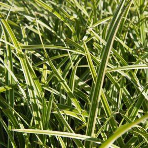 Carex morrowii 'Ice Dance' groen wit bladige Zegge Siergras, Groenblijvend, Schaduw