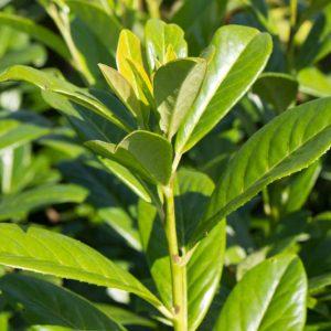 Prunus laurocerasus 'Novita' Bladhoudende Laurier, Sierkers Haagplan
