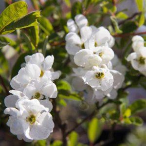 Exochorda x macrantha 'The Bride' Witbloeiende heester Voorjaarsbloeier