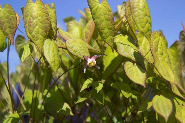 Epimedium x rubrum Rood Roze bloeinde Elfenbloem Voorjaarsbloeier, Schaduw Vasteplant