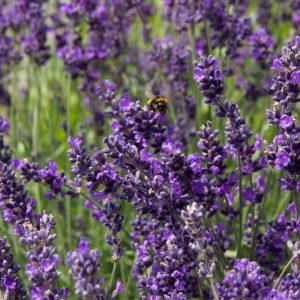 Lavandula angustifolia 'Hidcote' Blauw Paarse lavendel Zomerbloeier, Insectenplant Vasteplant