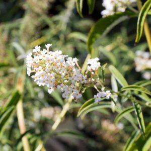 Buddleja davidii 'Nanho White' Witbloeiende Vlinderstruik