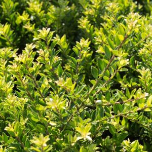 Ilex crenata 'Microphylla' Japanse hulst Haagplant, Groenblijvend