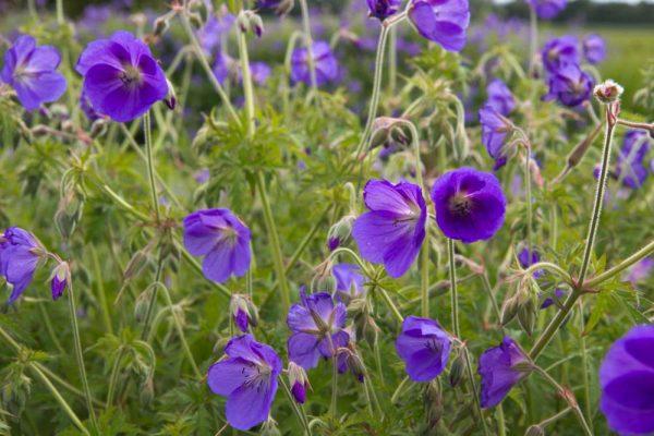 Geranium hybride 'Brookside' Paars bloeiende Ooievaarsbek Voorjaarsbloeier, Zomerbloeier Vasteplant