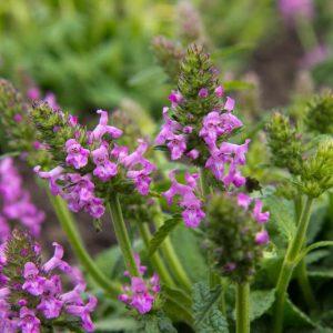Stachys officinalis 'Ukkie' Andoorm Zomerbloeier, Insectenplant