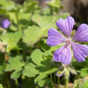 Geranium renardii 'Philippe Vapelle' Lila Paars bloeiende Ooievaarsbek Voorjaarsbloeier, Zomerbloeier Vasteplant