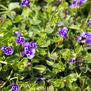Lindernia grandiflora Paaars witte Valse pimpernel Voorjaarsbloeier, Zomerbloeier, Bodembedekker Vaste plant