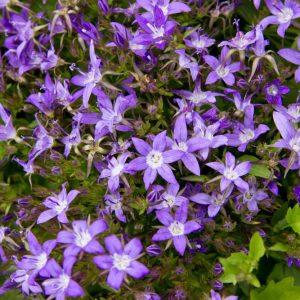 Campanula poscharskyana 'Stella' Blauw Paarsbloeiende Kruipende Klokjesbloem Zomerbloeier Vasteplant