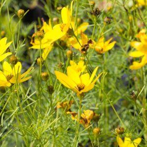 Coreopsis verticillata 'Zagreb' Geel bloeiende Meisjesogen Zomerbloeier Vasteplant