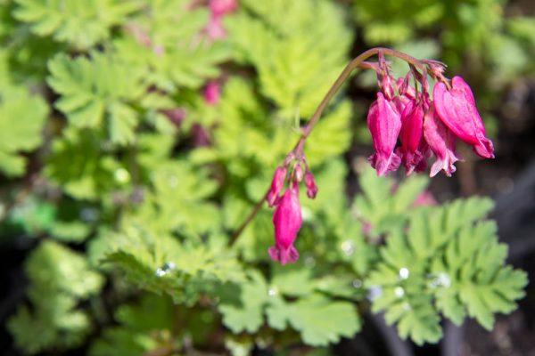 Dicentra formosa 'Luxuriant'Gebroken hartje Voorjaarsbloeier