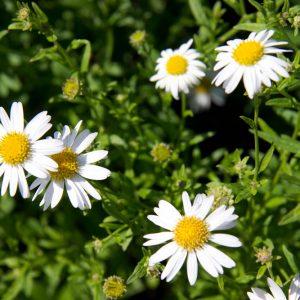 Kalimeris incisa 'Alba' Zomeraster Vasteplant Insectenplant