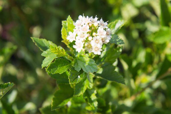 Physocarpus opulifolius 'Little Greeny'®Blaasspirea