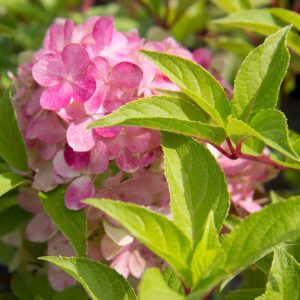 Hydrangea paniculata 'Vanille-Fraise'® Hortensia Pluimhortensia