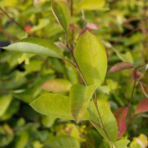 Amelanchier lamarckii Krentenboomstruik Eetbarebes