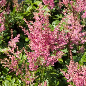 Astilbe 'Fanal' Rood bloeiende Pluimspirea Zomerbloeier Vaste plant