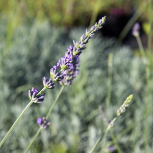 Lavandula intermedia Phenomenal Lavendel Insectenplant Vasteplant Zomerbloeier
