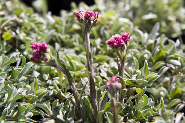 Antennaria dioica 'Alex Duguid' - Rozenkransje - Vaste plant