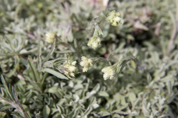 Antennaria dioica 'alba' - Rozenkransje - Vaste plant