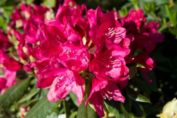 Rhododendron 'Nova Zembla' - Wintergroen heester