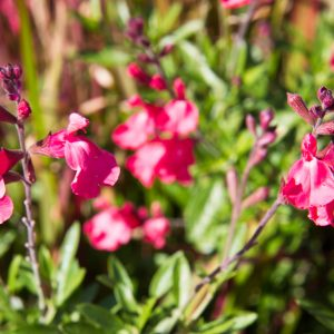 Salvia greggii 'Lipstick' Salie Herfstsalie Lipbloemig Vasteplant
