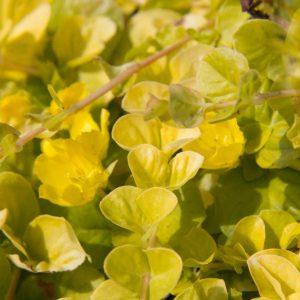 Lysimachia nummularia 'Aurea' Wederik Vasteplant Bodembedekkende plant