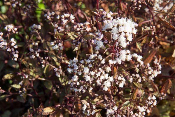 Eupatorium rugosum 'Chocolate' Koninginnekruid Leverkruid Insectenplant Vasteplant